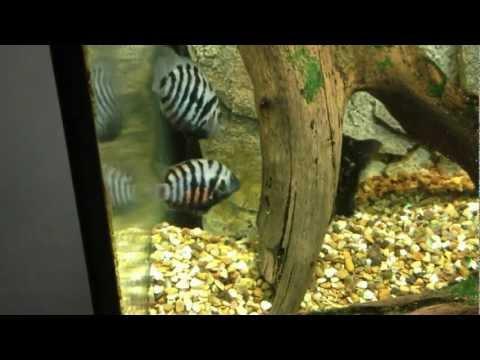 Jaguar Cichlid VS Convict Cichlids