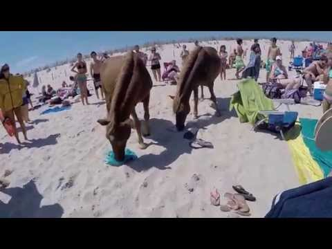 Assateague Island Wild Ponies on Beach