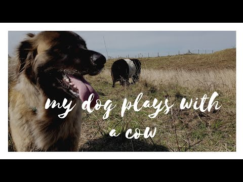 Leonberger dog plays with hairy cows
