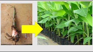 How To Produce 64 Plantain Suckers(peepers) From One Parent Sucker