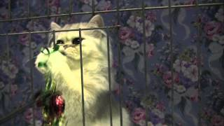 Cute Chinchilla Silver Persian Kittens