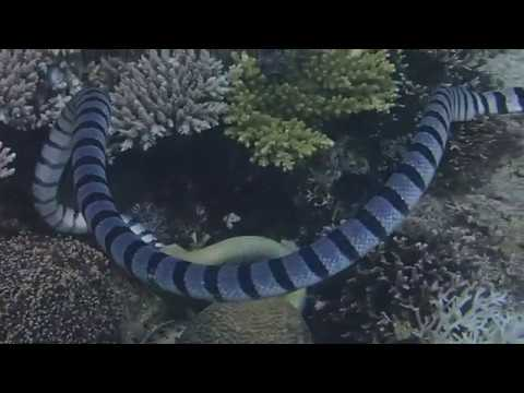 Sea Snake Try To Eat His Killed Moray