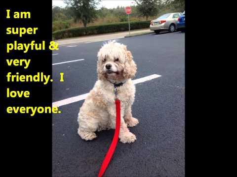 Bailey Buff is Available for Adoption through Florida Cocker Spaniel Rescue