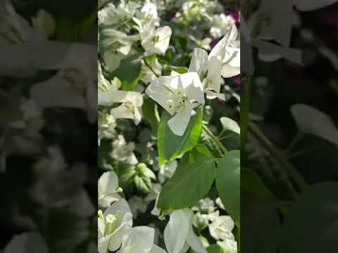 Download Bougainvillea 🌷 #plants #flowers