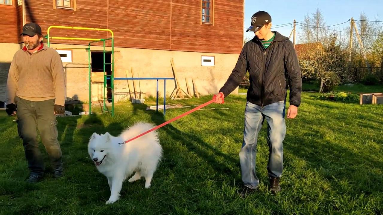Как быстро отучить собаку тянуть поводок