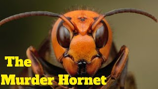 Murder Hornet | Giant Asian Hornet Spotted In The Us For The First Time | Bee Killer Hornet