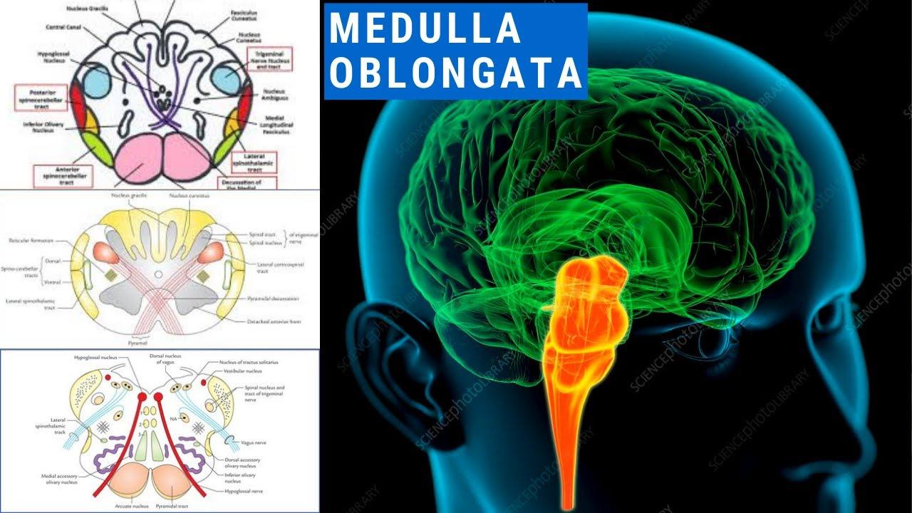 BRAIN STEM : MEDULLA OBLONGATA - YouTube