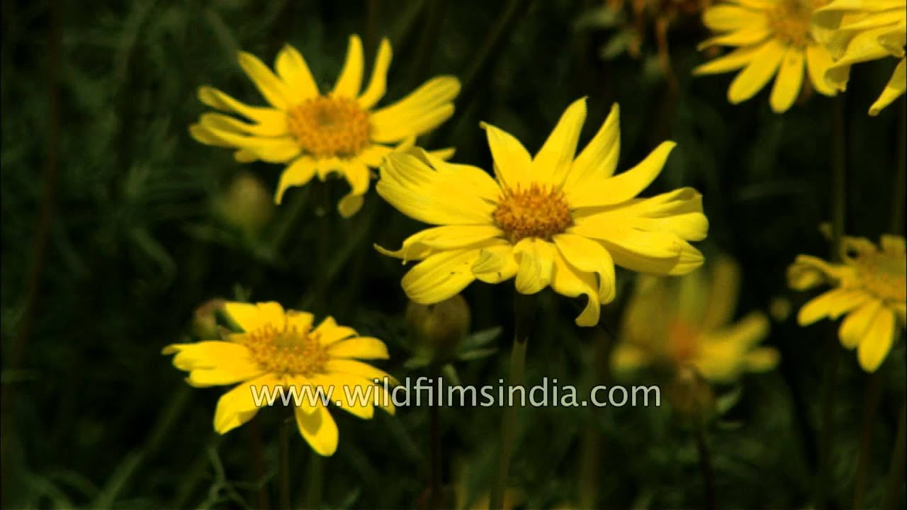 Yellow Daisy Flowers Bloom At Mughal Gardens In Presidents House Of