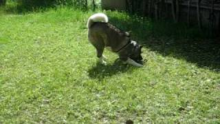 Kuro-Be, a 6-year-old American Akita, hops around happily in the ba...
