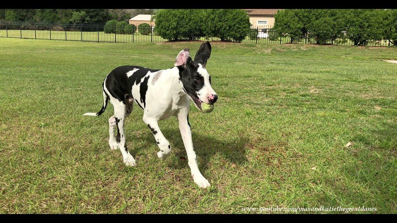 Playful Great Dane Pup...