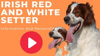 All Dogs Breeds - Irish Red and White Setter Breed Information And Personality