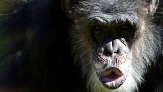 Homicidal Chimps: New Data Shows Primates