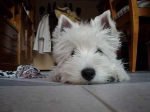 westie puppy lupi 4 months youtube. Black Bedroom Furniture Sets. Home Design Ideas
