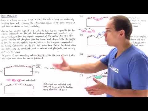 Bone Metabolism (Remodeling)