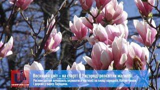 Весняний цвіт – на старт! В Ужгороді розквітли магнолії