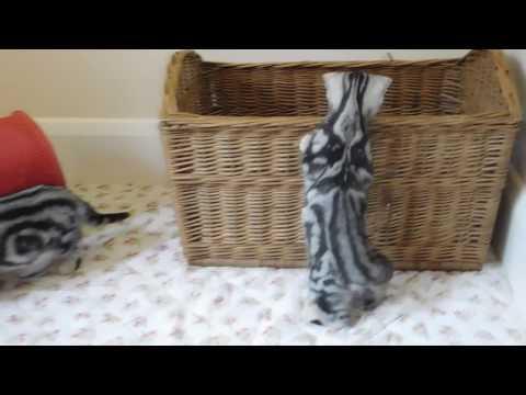 roxy british short hair cats