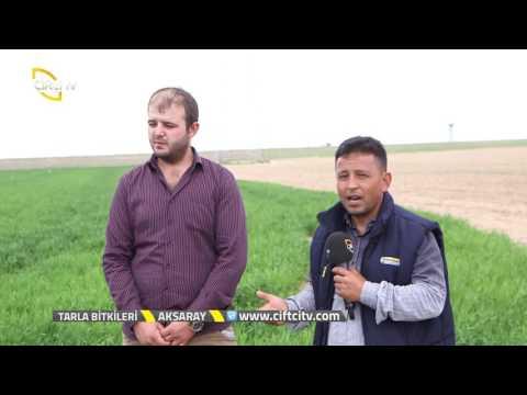 Tarla Bitkileri - Buğdayın Toprak Hazırlığı ve Ekim İşlemleri Nasıl Yapılır?