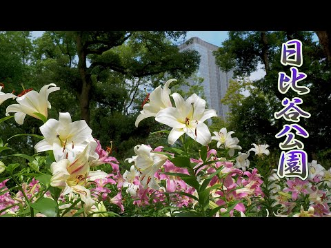 TOKYO. The metropolis of Tokyo is filled with the smell of lilies. #4K #日比谷公園
