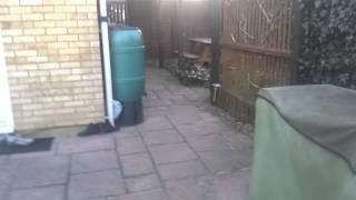 French Bulldog Vs Yorkshire Terrier - Tug Of War