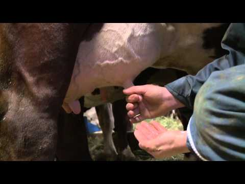 "Megève, ""La vache Abondance, la vache du reblochon"", Midi en France FR3"
