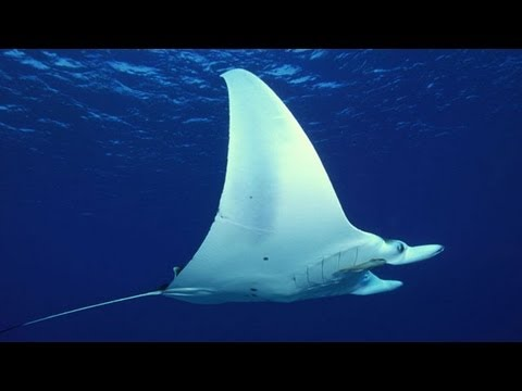 Giant Manta Rays Tracked By Satellite Offer Insights Into Population Decline