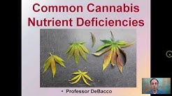 Common Cannabis Nutrient Deficiencies