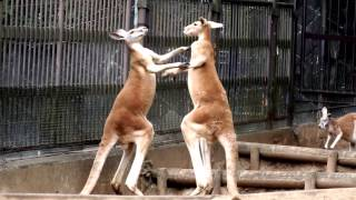 Kangaroo to fight.戦うアカカンガルー。 Tama Zoological Park.多摩動...