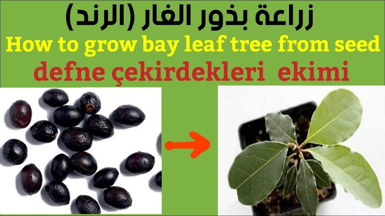 زراعة بذور ورق الغار الرند اشترك بالقناة ليصلك كل ما هو مبهر وجديد Bay Leaf Seeds Youtube