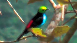 видео Райская танагра