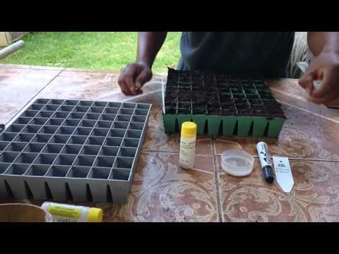 Germinar semillas de lisanthus