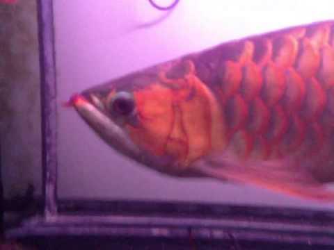 """ปลามังกรแดง กาลิมันตัน 20"""""""