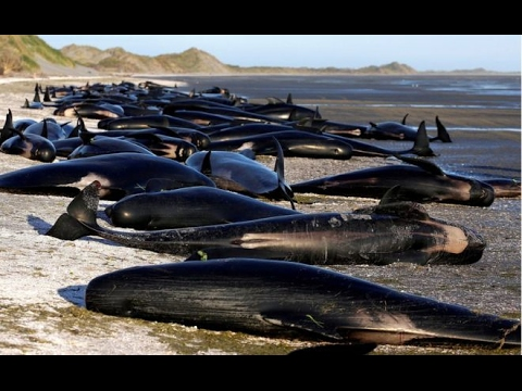 New Zealand whales Authorities to move 300 carcasses!!! update news world