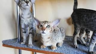 Питомник ориентальных кошек Киев