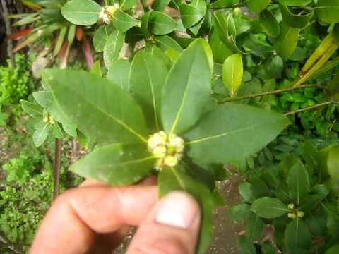 Bay Leaf Tree In Bloom On Salt Spring Island Youtube