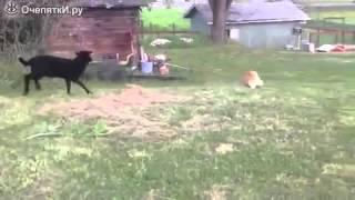 Ягнёнок играет с собакой