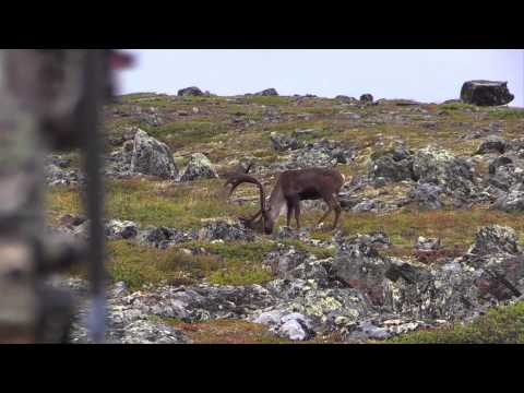 SHOT OF THE WEEK - Bowhunting Long-Range Caribou