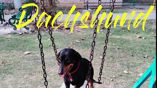 Dachshund | All about living with Dachshund | Pet Lover| Smallest Dog Breed | Dog Lover