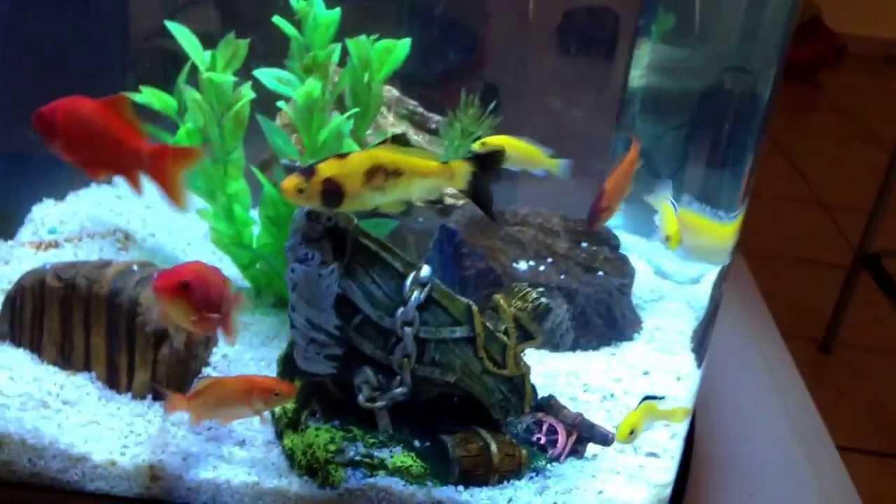 Acquario con ciclidi yellow lebistas e pesci rossi cubo for Acquario tartarughe e pesci insieme