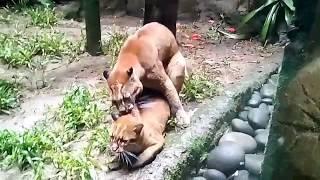 Download Video Viral - Kucing Emas  Raksasa (Taman Safari Bogor) MP3 3GP MP4