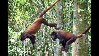 Macaco em fuga incrível de chimpanzés, a vez da presa