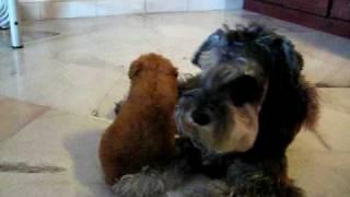 Miniature Schnauzer Vs. Toy Poodle