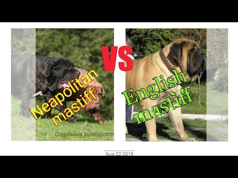 Neapolitan mastiff vs English mastiff.