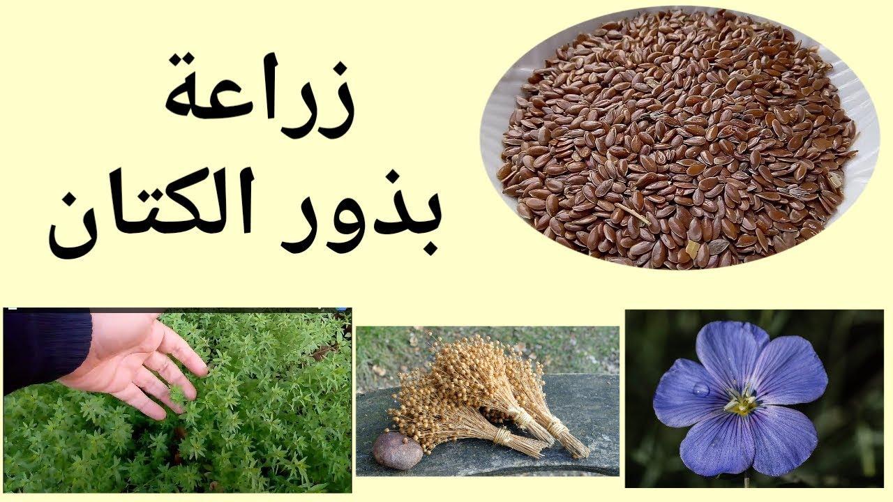 زراعة بذور الكتان في المنزل و فوائد بذر الكتان Flax Youtube