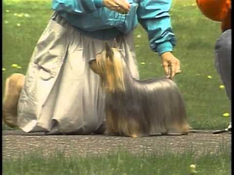 Silky Terrier - AKC Dog Breed Series