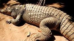 Purring crocodile - Kehräävä krokotiili