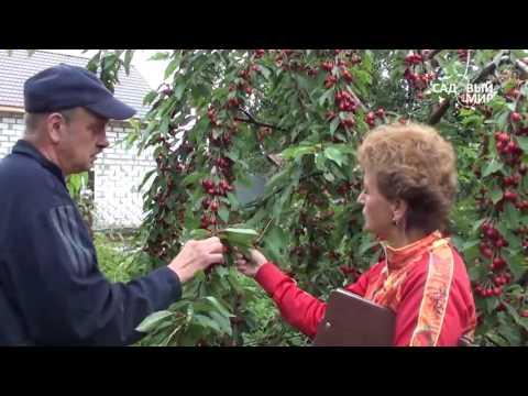 Как вырастить Черешню в Средней полосе