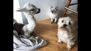 A Baby Alpaca in the house!? With a dog and a cat? This farm is nuts!