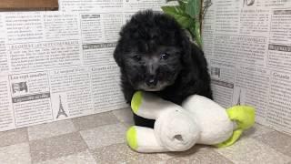 ペットショップ 犬の家 加古川店 「トイプードル」「95315」 thumbnail