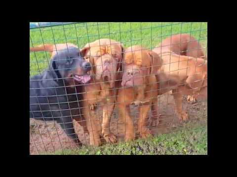French mastiff & Rottweiler