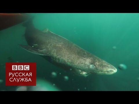 Сколько лет может прожить акула